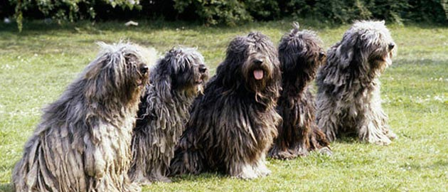 Bergamasco Shepherd