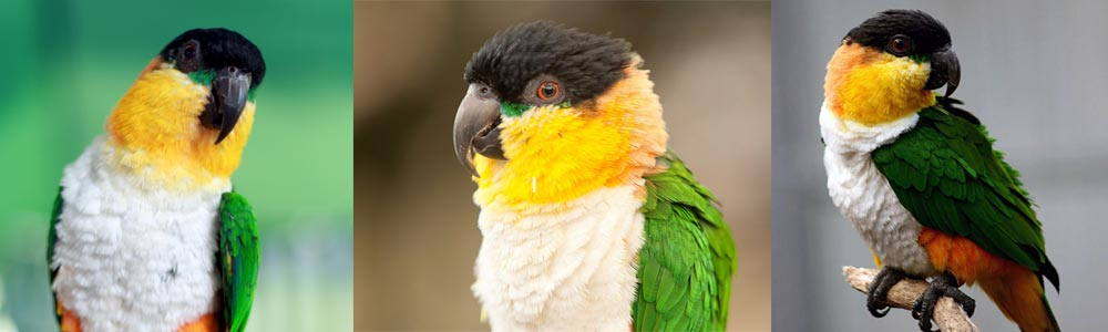 The Caique Parrot