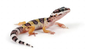 This lizard is sold in forty lakhs!!