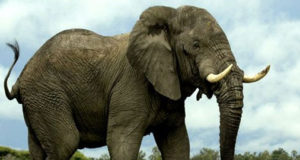 Nuclear weapon testing may help Track Illegal Ivory!