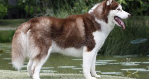 #Checkout some interesting facts about Siberian Husky!